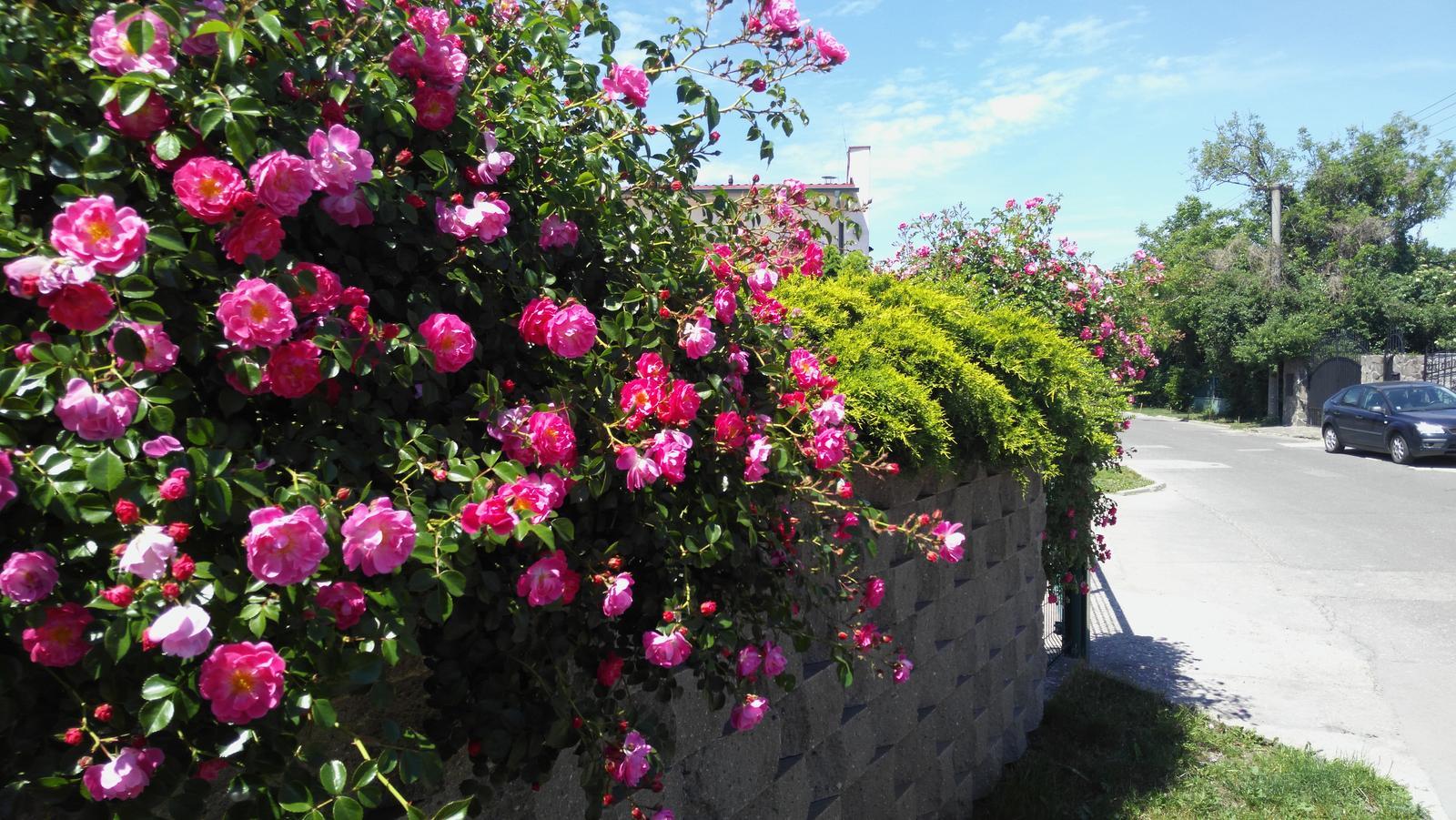 07 Vegetačný oporný múr sa na jar prebúdza ( rozšírené 19.6.2020 ) - 2017 05 30_Oporný múr od ulice v plnej kráse.