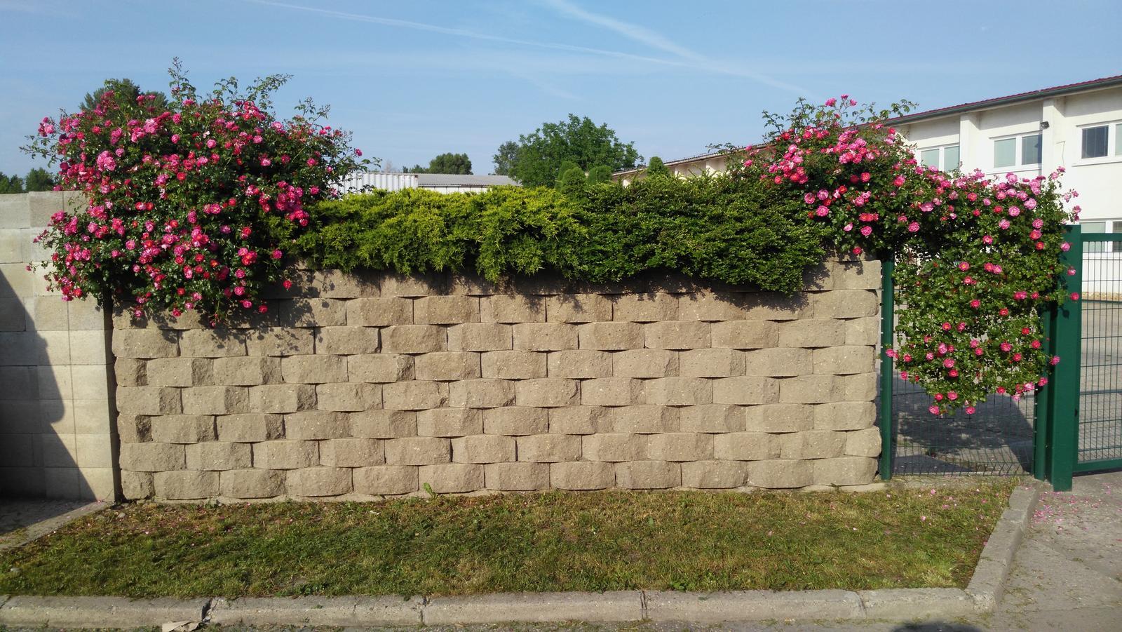 07 Vegetačný oporný múr sa na jar prebúdza ( rozšírené 19.6.2020 ) - 2017 05 30_Ružami sa naozaj nedá nič pokaziť