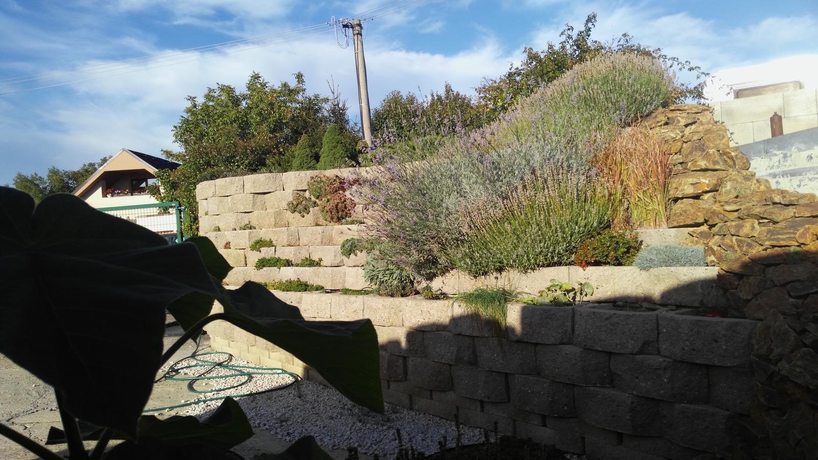07 Vegetačný oporný múr sa na jar prebúdza ( rozšírené 19.6.2020 ) - 2017 10 04_Levandule na jeseň, vľavo Pavlovnia vypestovaná zo semiačka pripravená na presadenie
