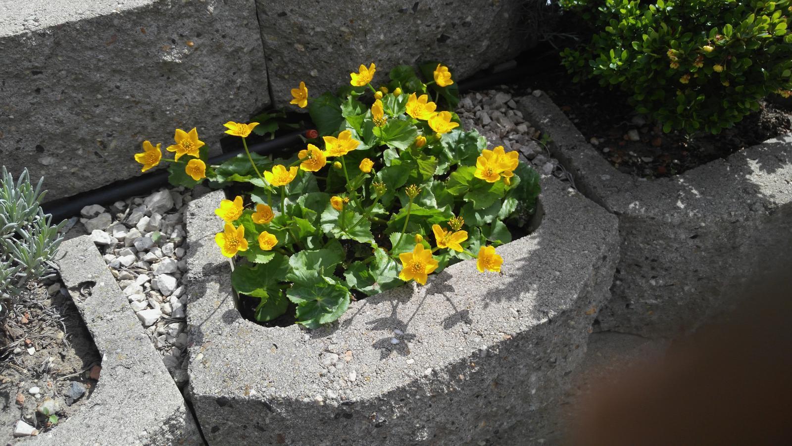 07 Vegetačný oporný múr sa na jar prebúdza ( rozšírené 19.6.2020 ) - 2020 04 14 Blatúch sa prebudil prvý