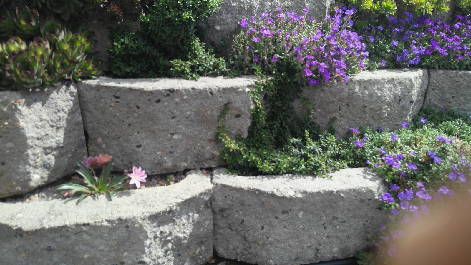 07 Vegetačný oporný múr sa na jar prebúdza ( rozšírené 19.6.2020 ) - 2020 04 14 Fialové sú tu opäť