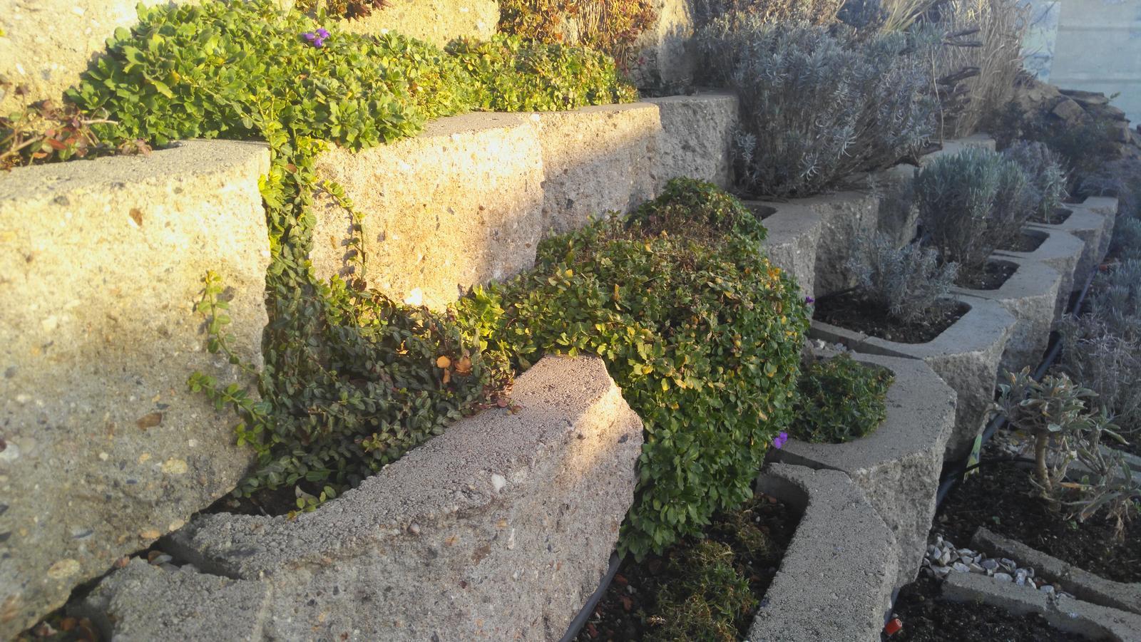 07 Vegetačný oporný múr sa na jar prebúdza ( rozšírené 19.6.2020 ) - 2020 04 14 Plazivá zeleň sa od minulého roku pekne ujala a začína pokrývať betónové tvarovky.