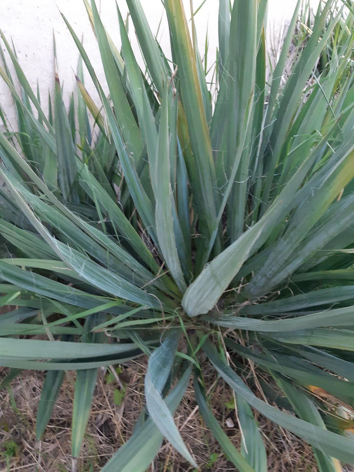 JUKA-Juka Glauca - Yucca Glauca - Obrázok č. 1