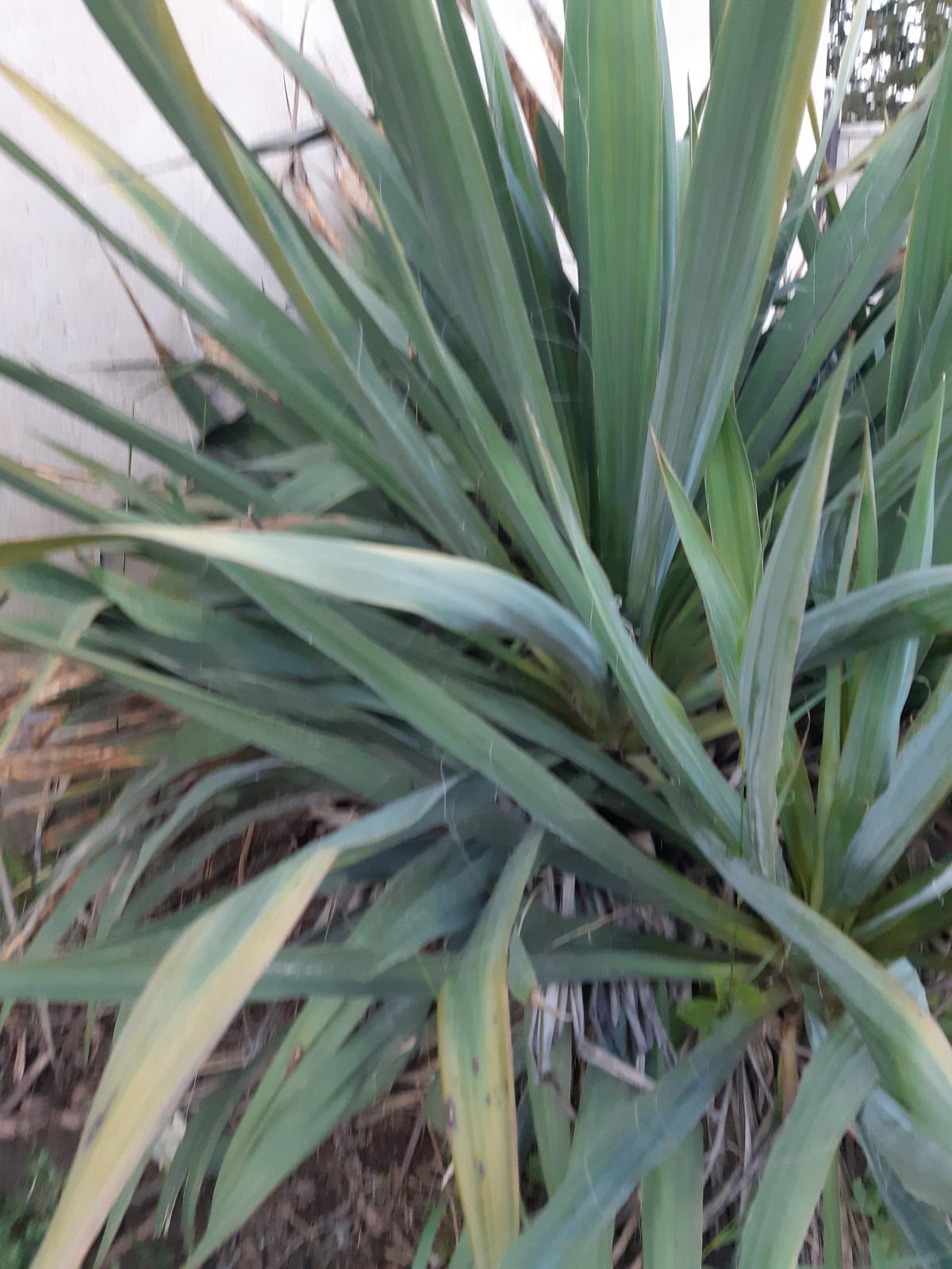JUKA-Juka Glauca - Yucca Glauca - Obrázok č. 3
