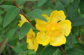 Neviete, co je toto za krik? Kvety maju priemer tak 6 cm a na jesen sa po odkvitnuti z toho spravia cervenocierne gulicky.