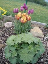 ...tulipány s kontryhelem...