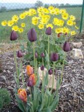 ...tulipány a kamzičník...