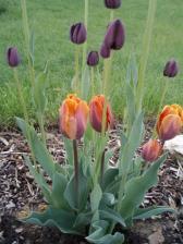 ...tulipánky...