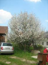 Pohled na naší zahradu - na rozkvetlou jabloň.