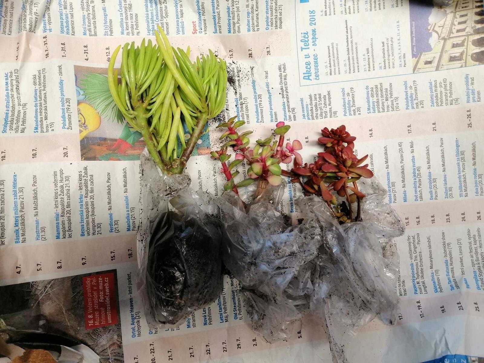 "Naše podkroví + zahrada - Zleva: Senecio barbertonicus (Jižní Afrika), Portulacaria afra ""Tricolor"", Crassula pubescens ssp. radicans (Jižní Afrika)"