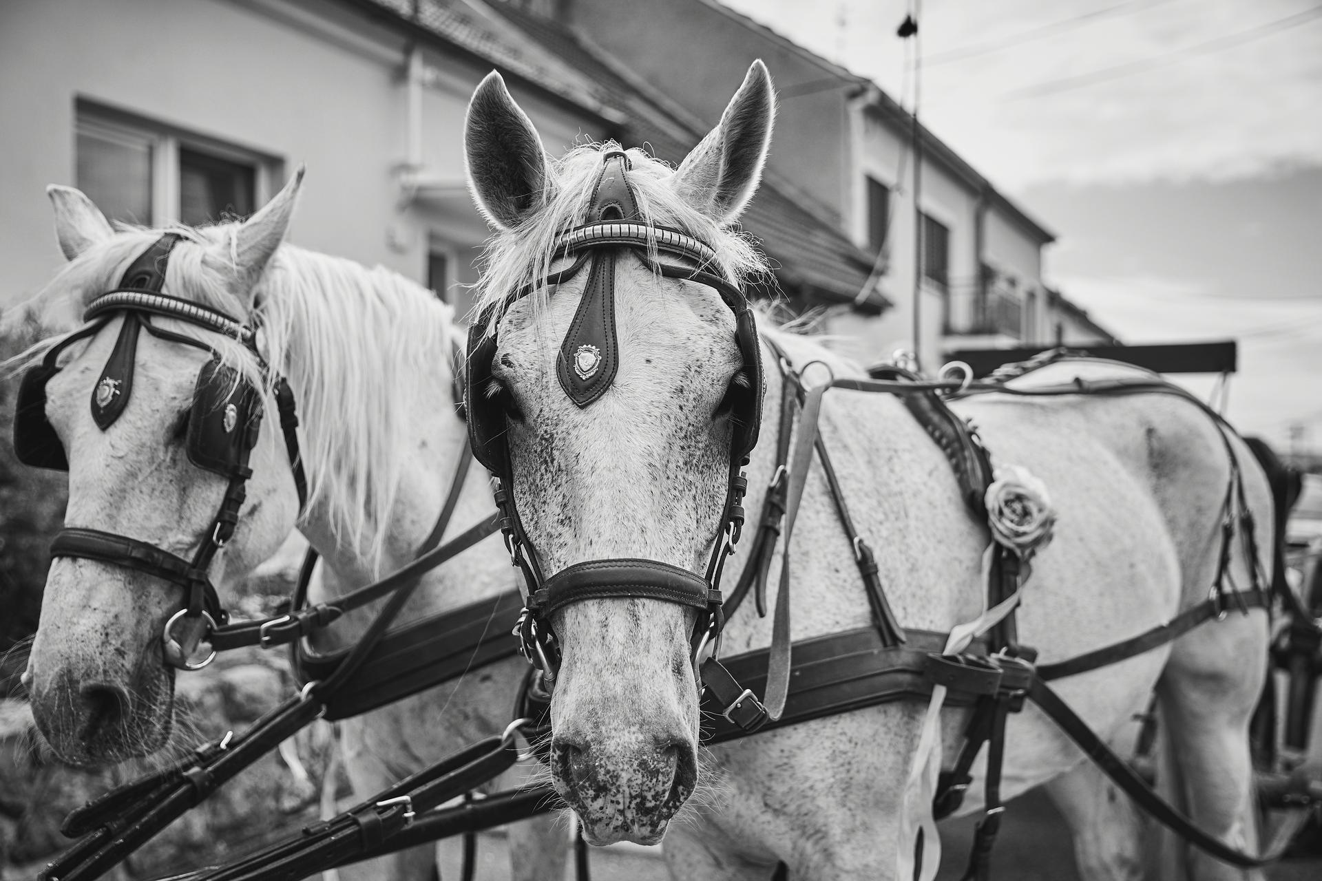 Svatba 6.6.2020 - Koně: Ranč Divoká růže  Překvapení od rodičů aneb nevěsta jede v kočáře.