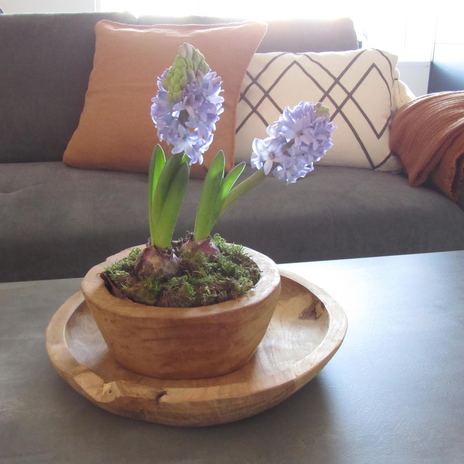 První rok bydlení - 2020 - všechny barvy hyacint jsou krásné, ale fialové voní neskutečně krásně