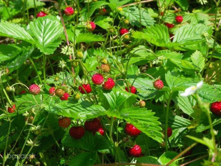 priesady lesne jahody - Obrázok č. 1