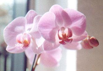 Horucka sobotnajsej noci 05.05.2007 -  orchidea multifiori