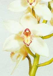 Horucka sobotnajsej noci 05.05.2007 - orchidea cymbidius