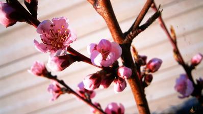 nektarinka vyzera byt tiez na urodu :)
