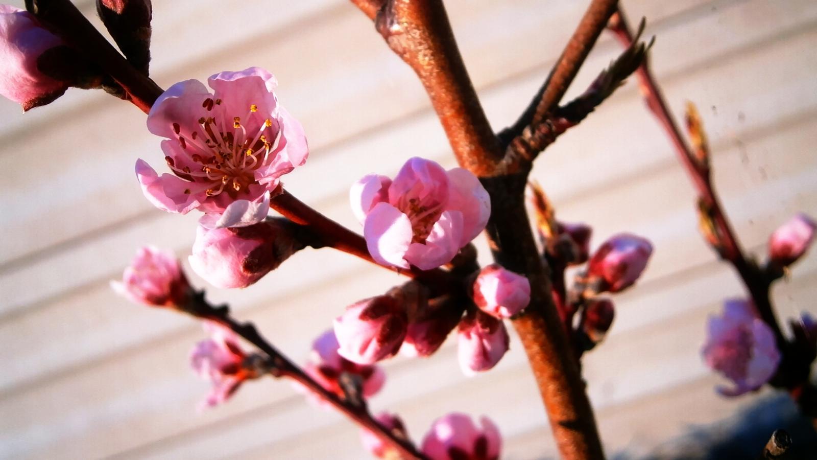 Vyvyseny zahon svojpomocne + uzitkova - nektarinka vyzera byt tiez na urodu :)