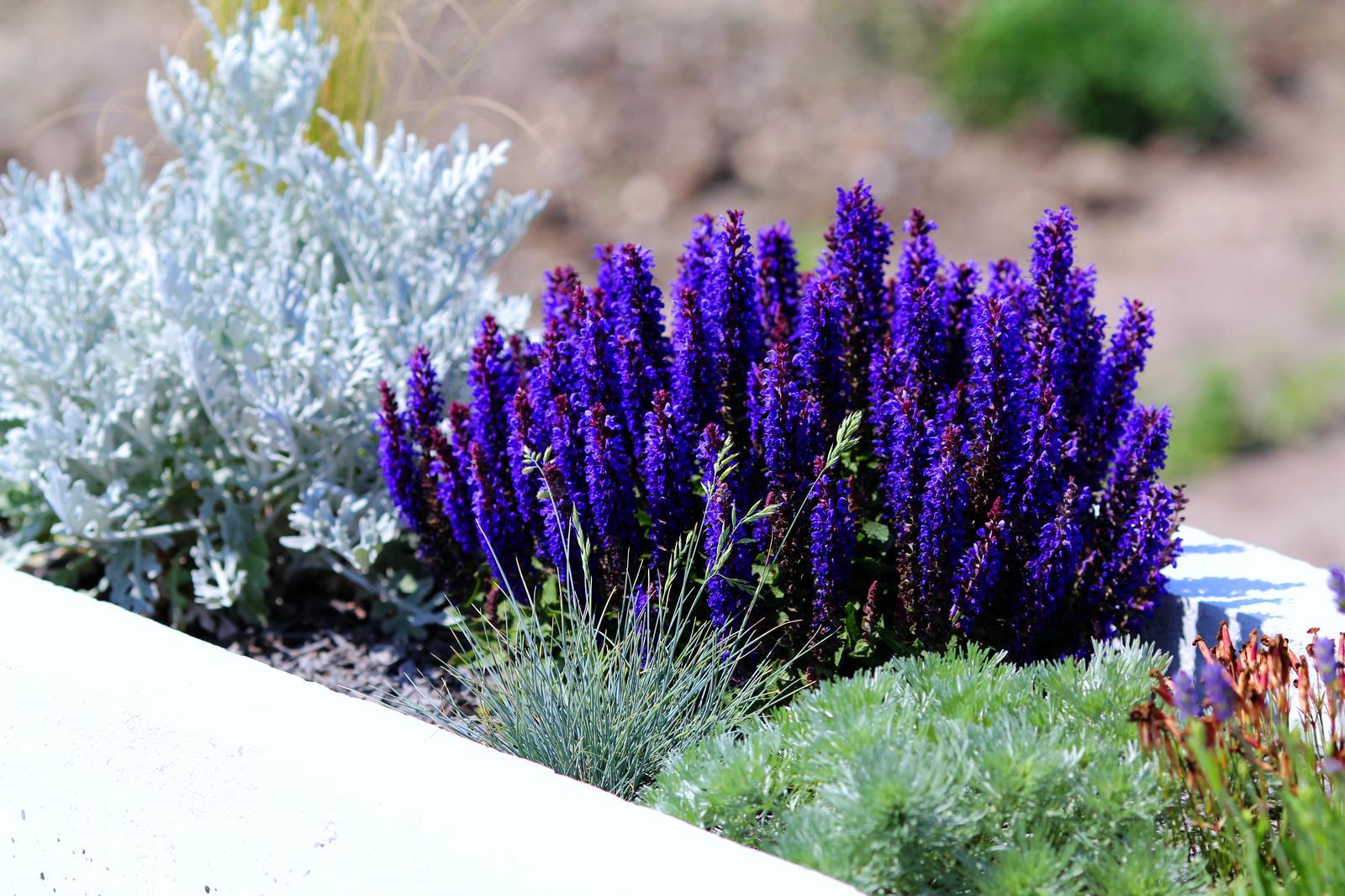Modern Garden Linear324 - naša prímorská - az nechapeme tej farbe ktoru dava salvia .... ,musim si ju nastepit, takuto som snad nevidel nikde predavat