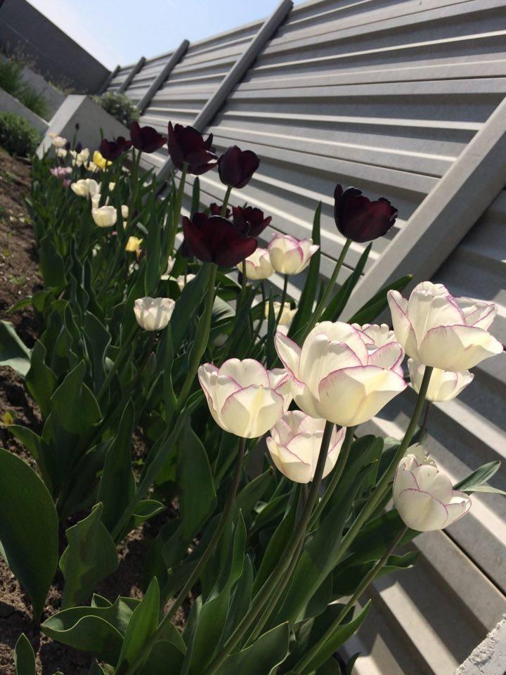 Modern Garden Linear324 - naša prímorská - zatial nezorientovane rastene tulipany :D... este sa musia preriedit, dosadit dalsie rastliny ktore budu dominovat po odkvitnuti