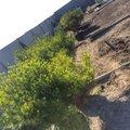 Konecne sme nasli kultivar kt. bude pripominat opat viac primorsku chut :) ... Pinus densiflora Alice Verkade - ak by niekto hladal tie prave chorvatske :)... uz cakam iba na cikady :) , pojdu do 4 kochlikov okolo sachty na filtraciu
