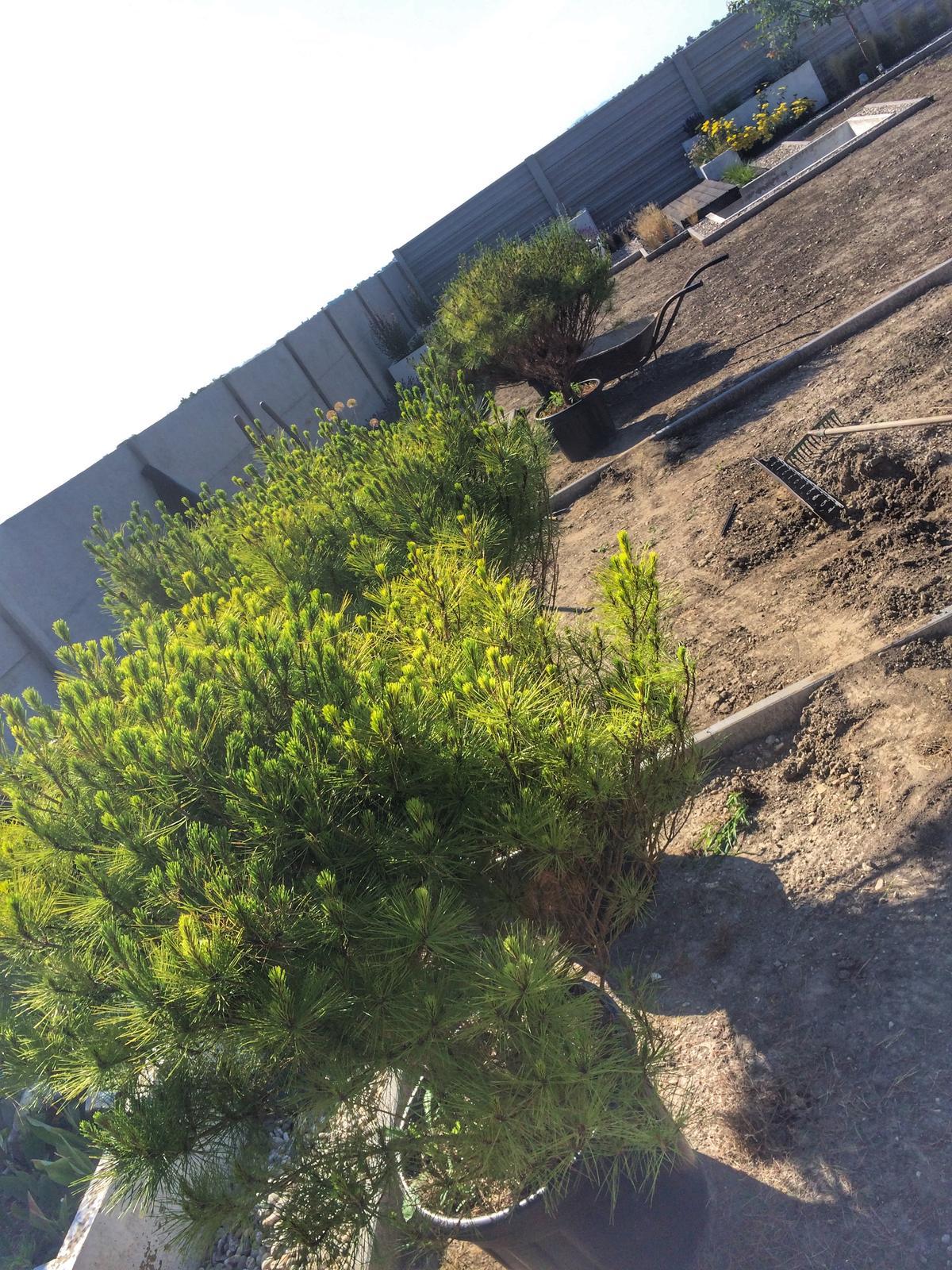 Modern Garden Linear324 - naša prímorská - Konecne sme nasli kultivar kt. bude pripominat opat viac primorsku chut :) ... Pinus densiflora Alice Verkade - ak by niekto hladal tie prave chorvatske :)... uz cakam iba na cikady :) , pojdu do 4 kochlikov okolo sachty na filtraciu