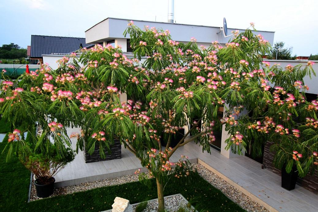 Modern Garden Linear324 - naša prímorská - Albizia ide spinkat... listy zatvara kazdy vecer a ostavaju otvorene iba kvety :) dakujem jej za vytuzeny TIEN :D
