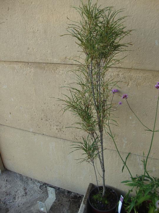 Rhamnus fragula
