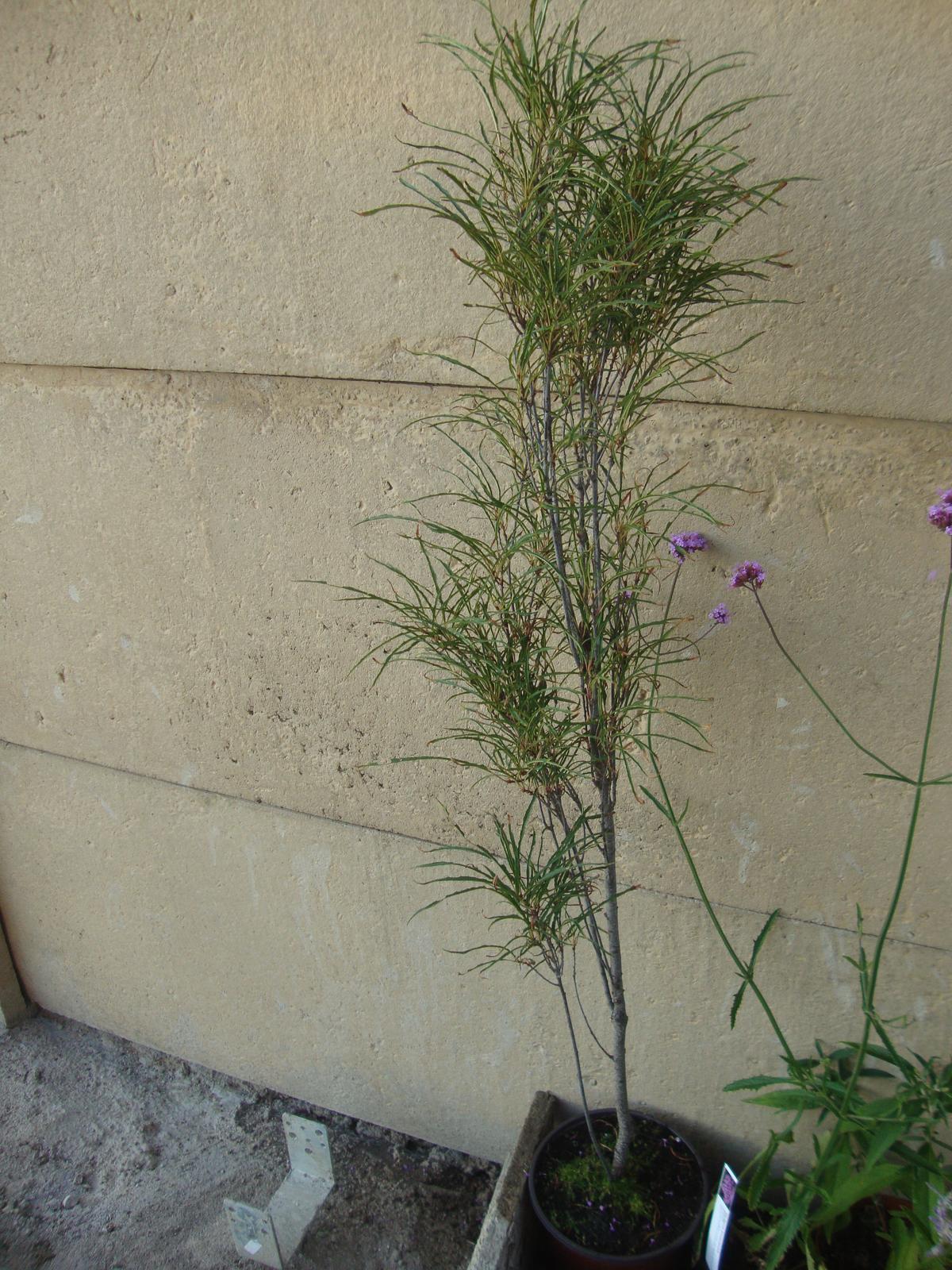Kytičky - rhamnus fragula