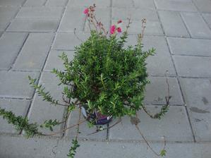 daboecia cantabrica- irský vřes