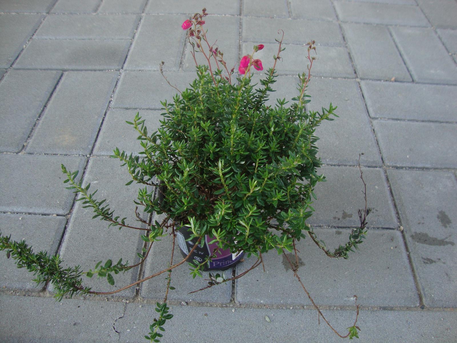 Kytičky - daboecia cantabrica- irský vřes