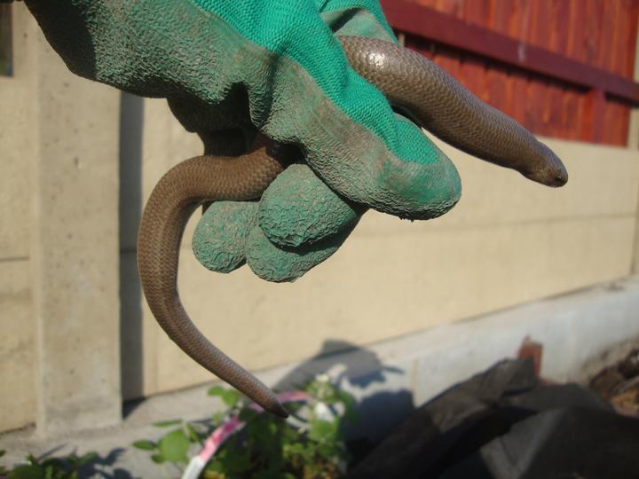 Jeden z obyvatelů naší zahrady :) vždycky když slepýše někde vyhrabu, musíme si ho všichni pohladit :)