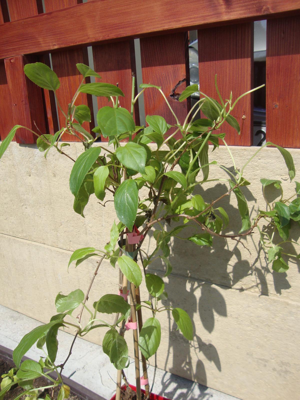 Kytičky - Actinidia- kiwi