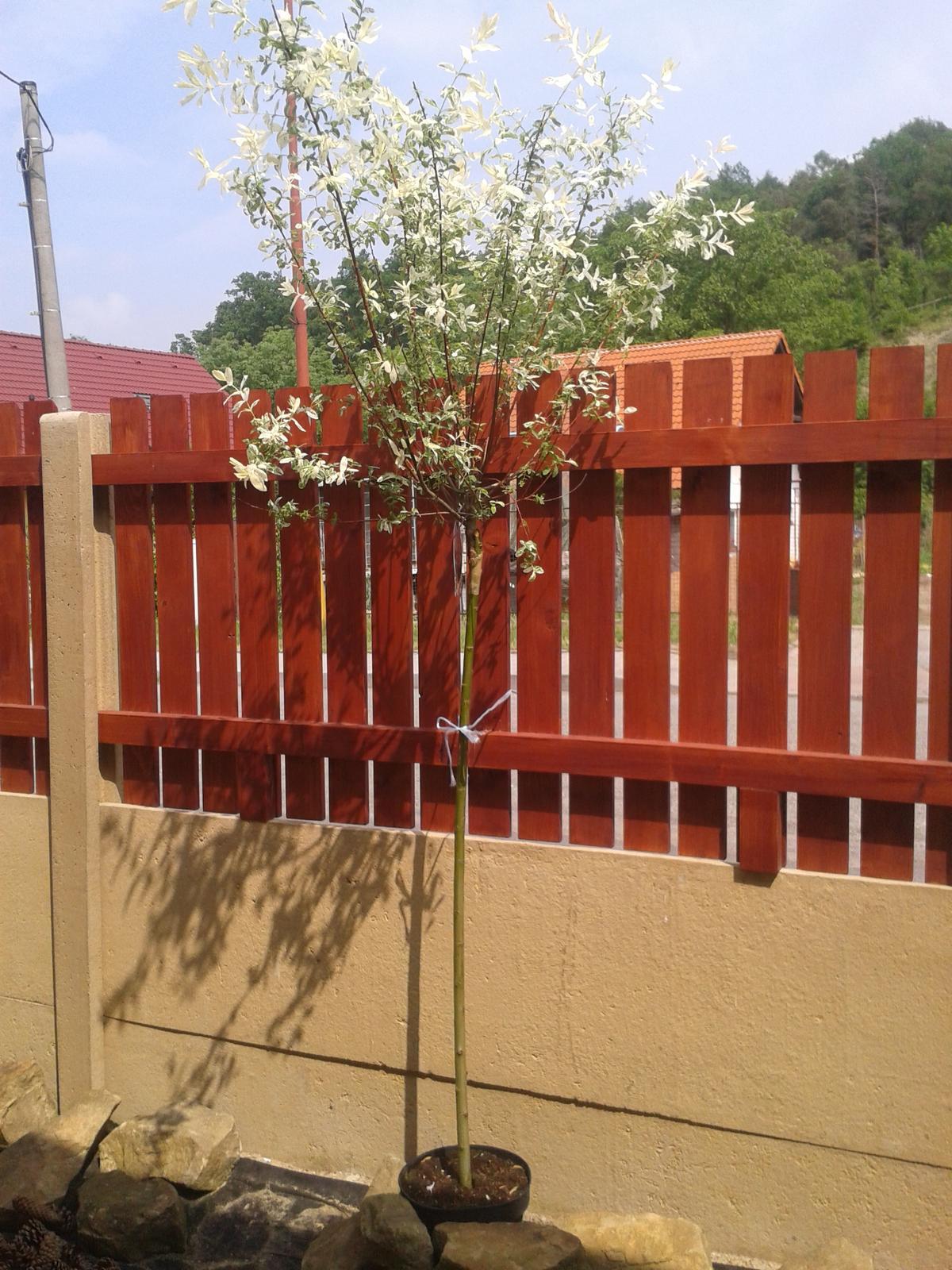 Kytičky - Salix integra Hakuro nishiki- kmínek 120 cm