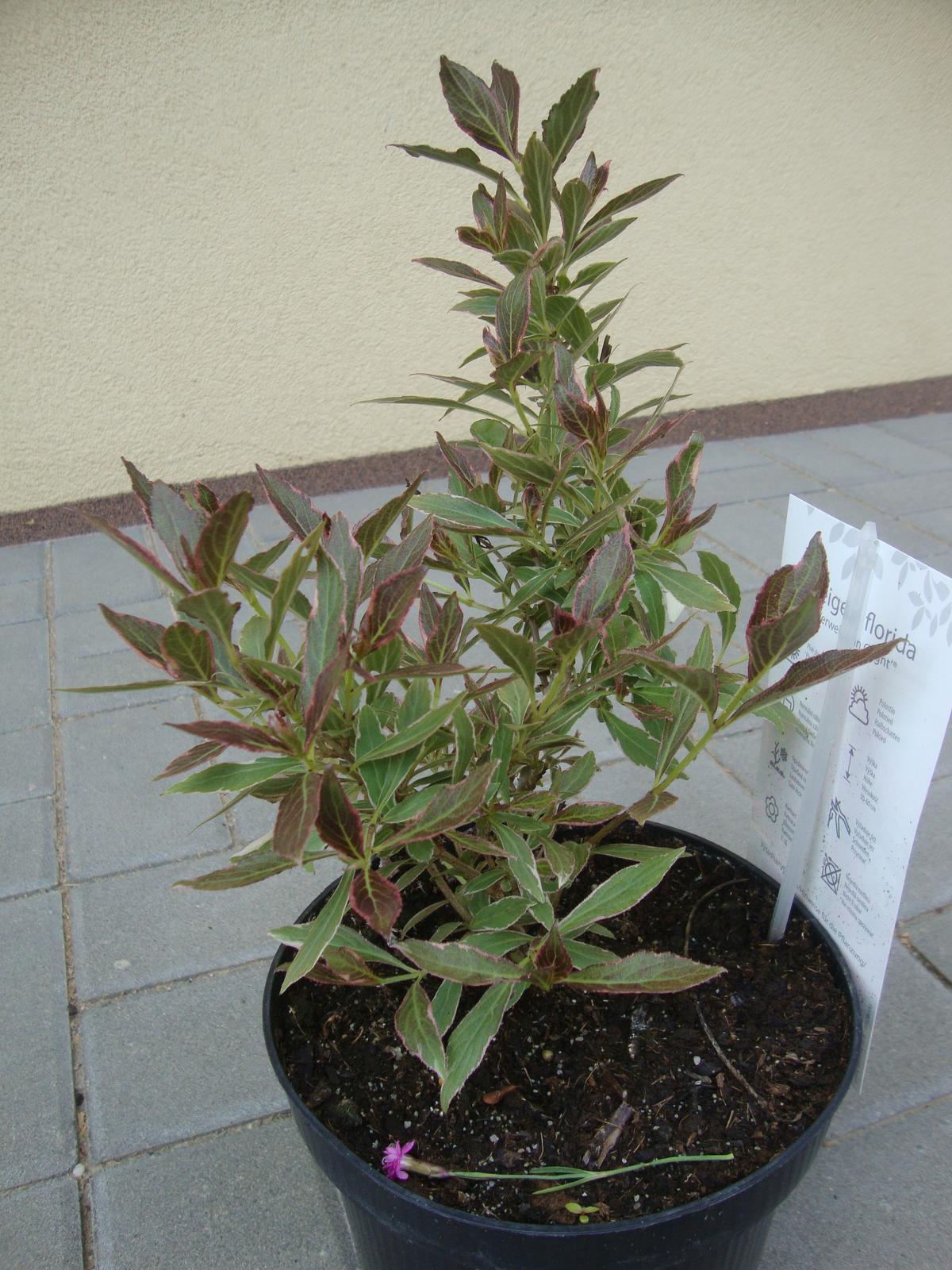 Kytičky - weigelia florida