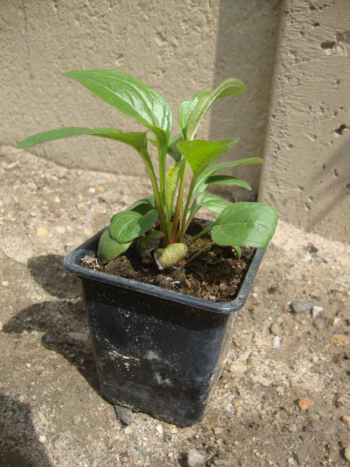 Kytičky - echinacea