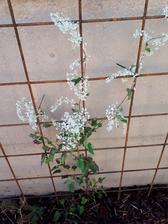 rdesno -Polygonum baldschuanicum