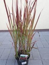 Imperata cylindra Red baron