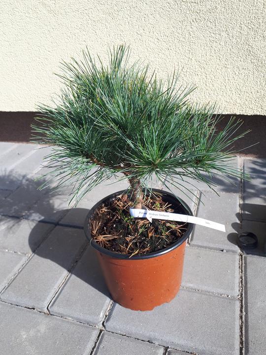 Pinus strobus ontario