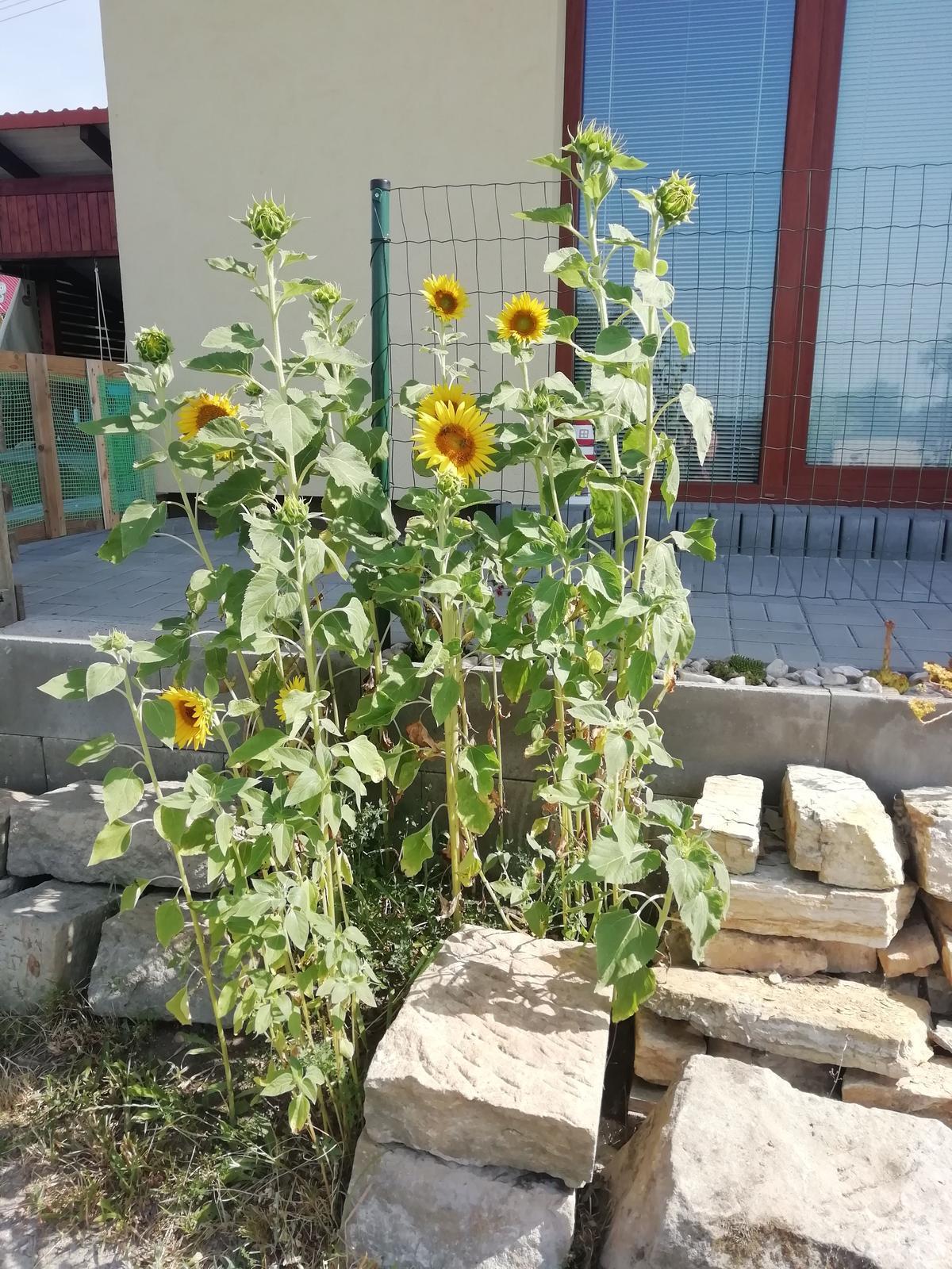 Venku (tam kde už to nevypadá jako staveniště) - to je tak když v zimě krmíte ptáčky slunečnicovými semínky :)