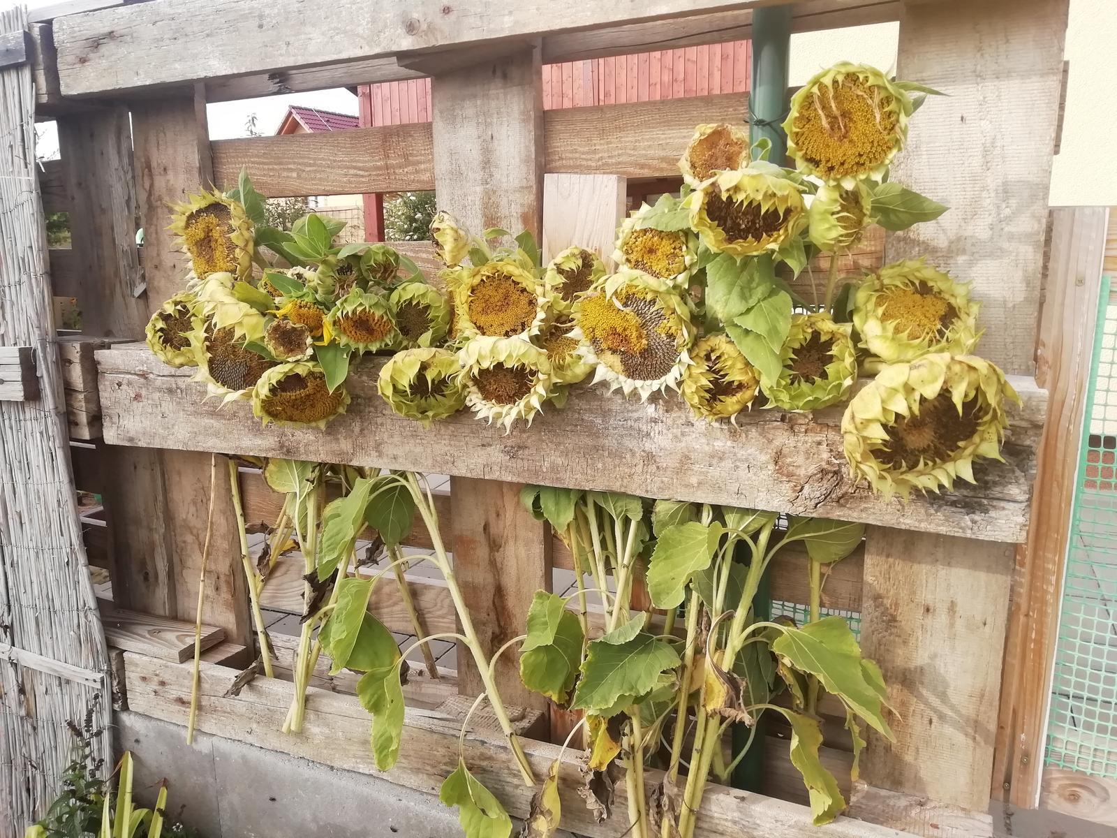Venku (tam kde už to nevypadá jako staveniště) - Ptačí bufet 🙂 v záhonu už slunečnice nedělali parádu, ale sýkorky si je létají vyzobávat, tak jsem jim je nechala takto.
