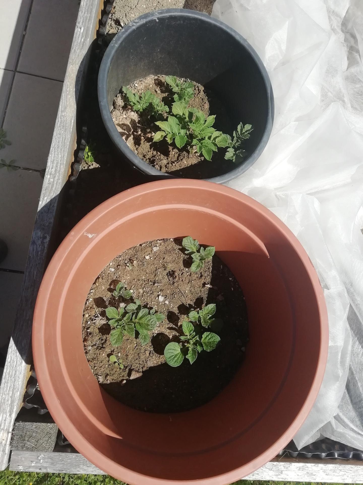 2021 Doma i venku - letošní pokus-pěstování brambor v květináči
