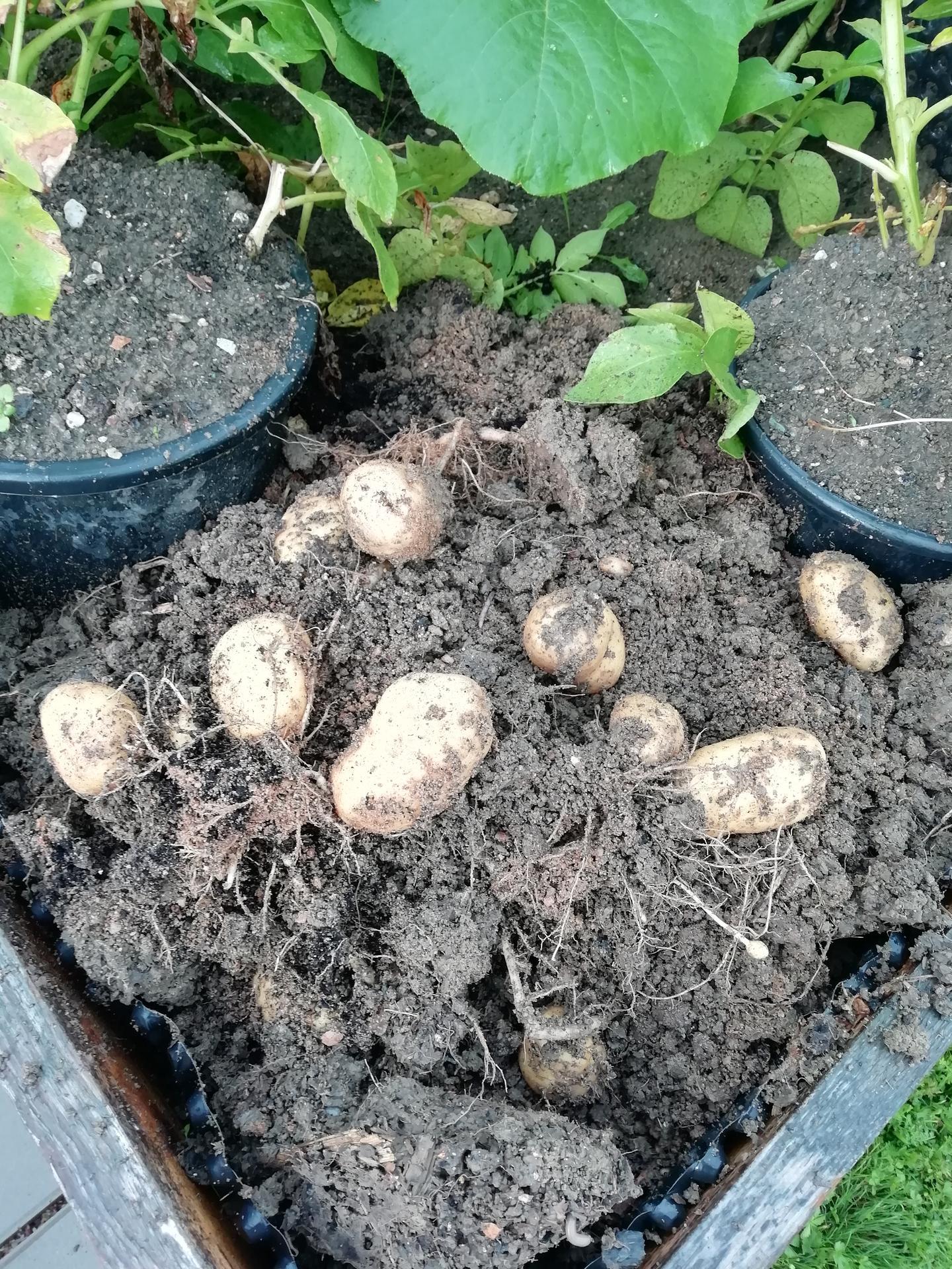 2021 Doma i venku - První sklizeň z květináče 🙂 zasazeny 3 ks-sklizeno 13 ks
