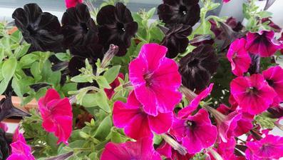 ...moja čierno - ciklámenová kráska...