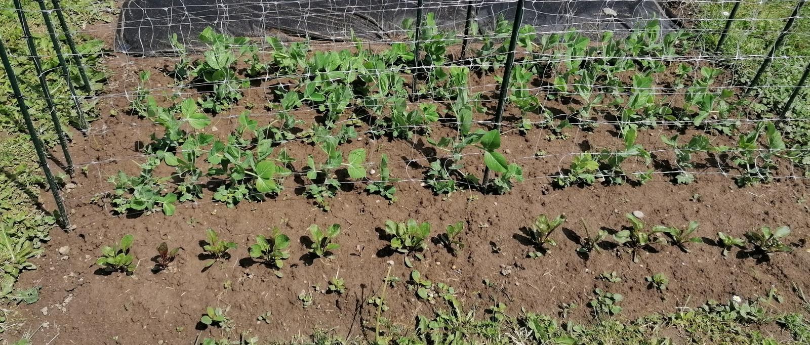 """Naše malé """"pole neorané"""" :o) záhradka 2. rok - Obrázok č. 41"""