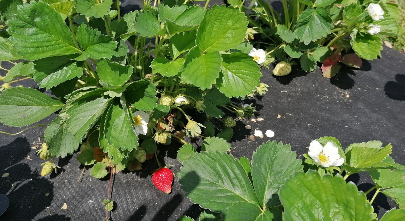 """Naše malé """"pole neorané"""" :o) záhradka 2. rok - Obrázok č. 42"""