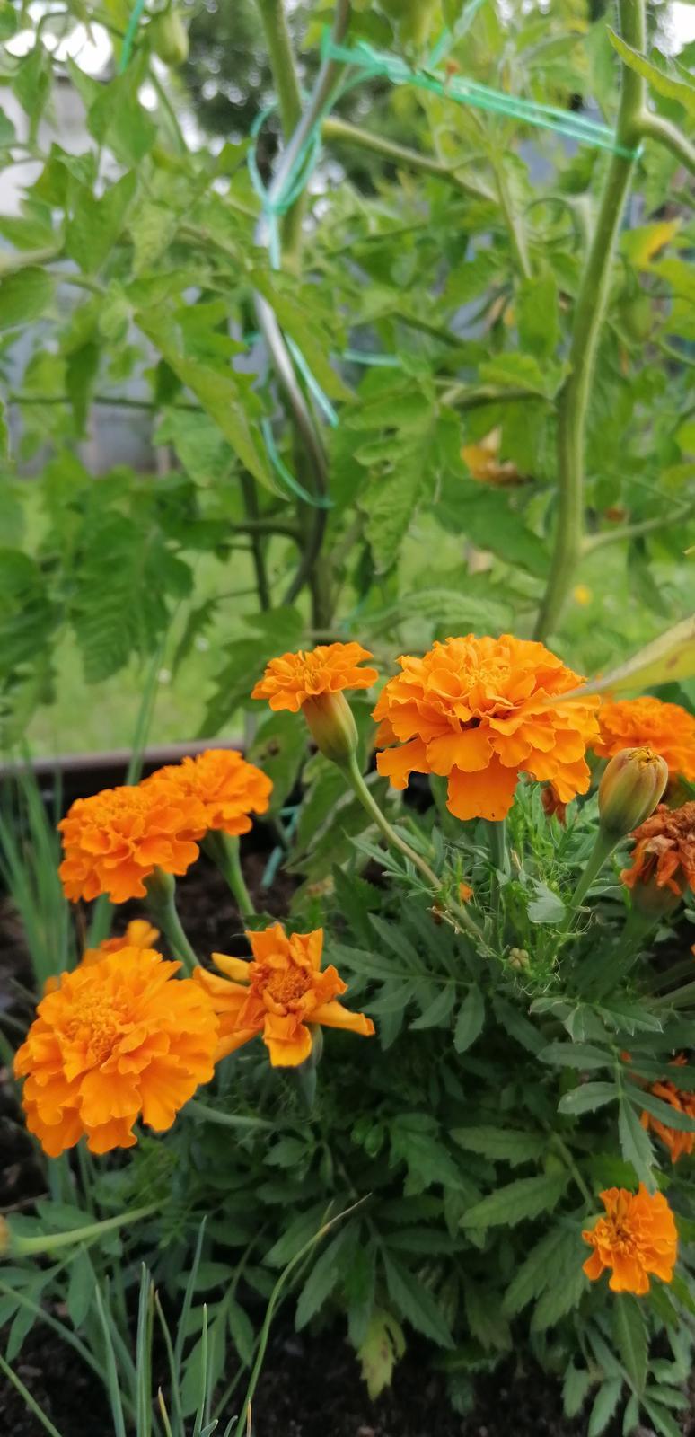 """Naše malé """"pole neorané"""" :o) záhradka 2. rok - Obrázok č. 55"""