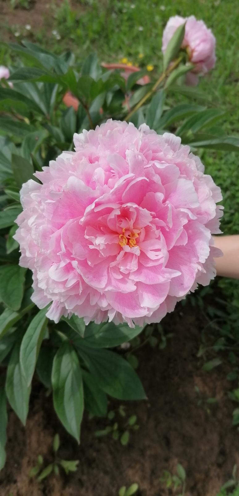"""Naše malé """"pole neorané"""" :o) záhradka 2. rok - Obrázok č. 64"""