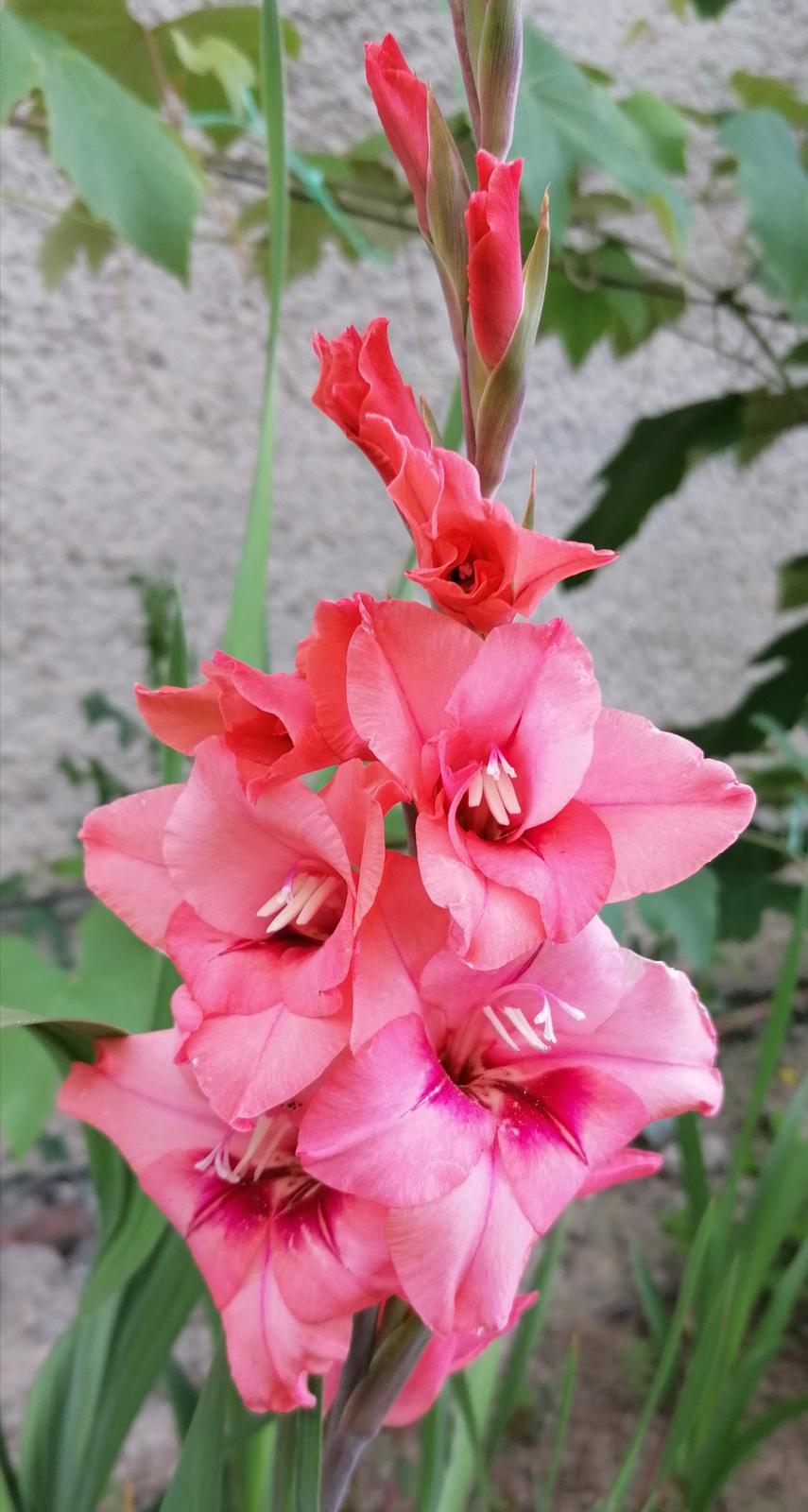 """Naše malé """"pole neorané"""" :o) záhradka 2. rok - Obrázok č. 65"""