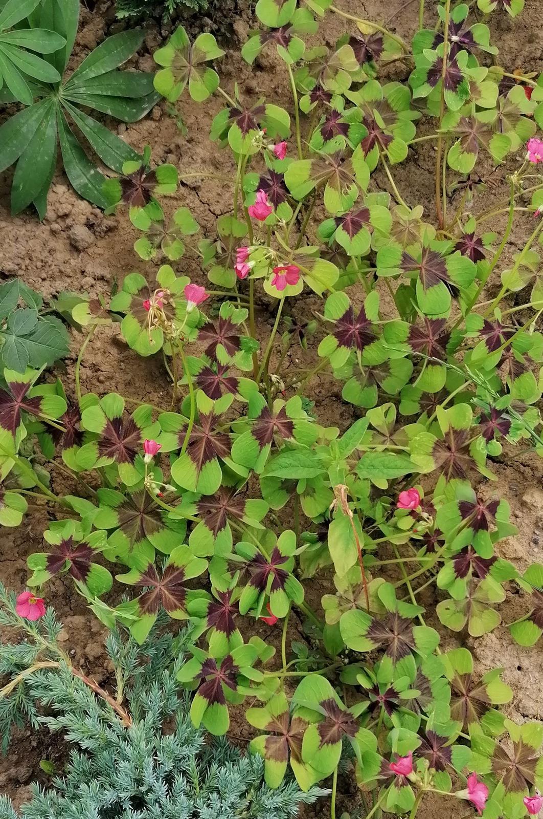 """Naše malé """"pole neorané"""" :o) záhradka 2. rok - Obrázok č. 66"""