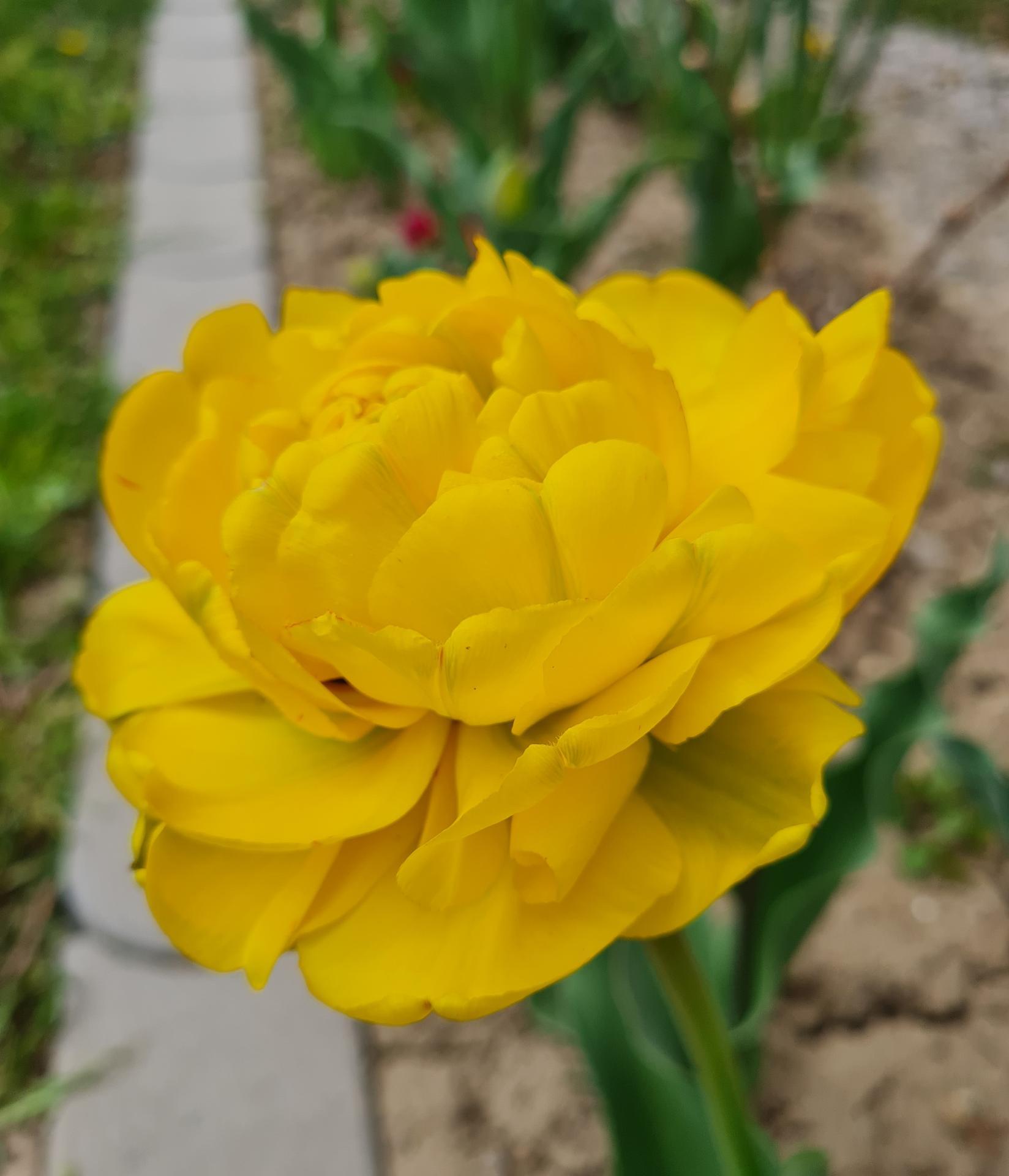 """Naše malé """"pole neorané"""" :o) záhradka 3. rok - ...tulipány všetkých farieb a tvarov..."""
